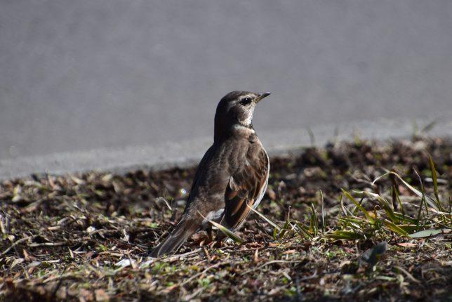 白滝橋の土手で遊ぶ雀