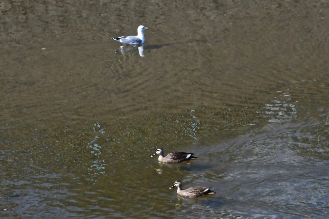 白滝橋下を泳ぐ鴨とウミネコ