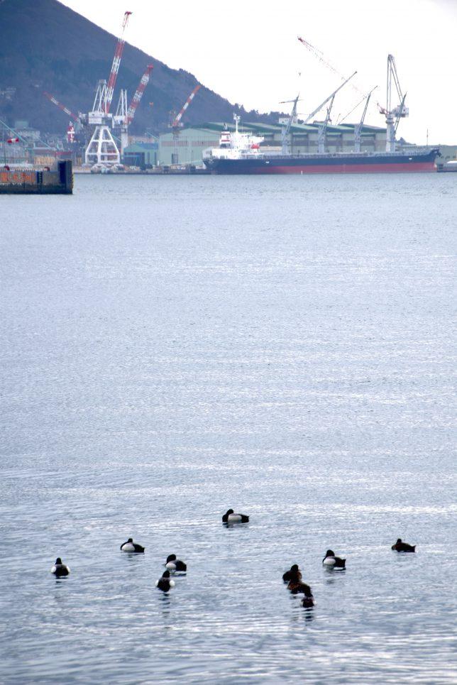 北埠頭に遊ぶ鴨