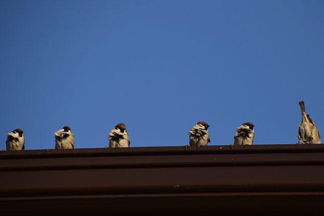 人家の屋根で温むスズメ