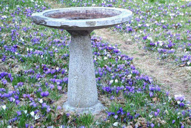 美しいクロッカスが咲く庭