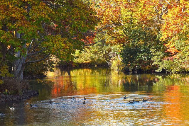 紅葉が映る水面を気持ち良さそうに泳ぐ鴨たち
