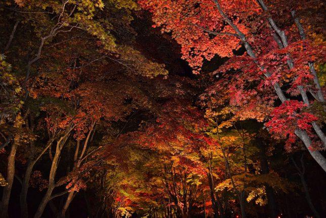 日が暮れて紅葉のライトアップが始まった