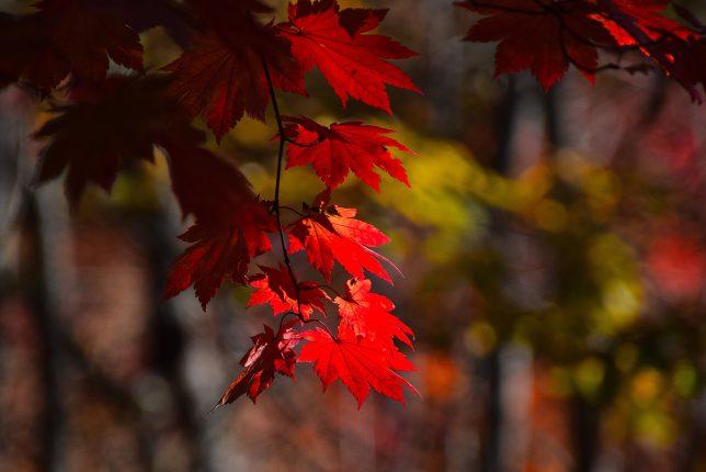 燃えるような真紅の葉が美しい