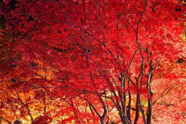 ライトアップされた真紅の楓が燃えるようだった。