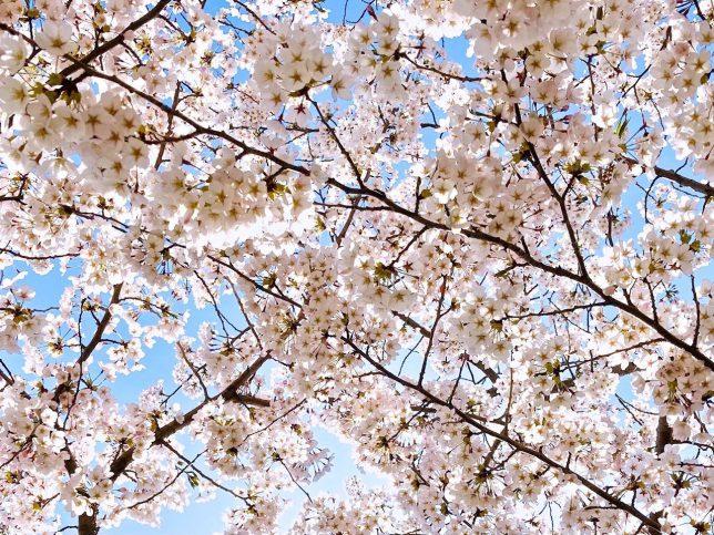 公園の桜は満開だった
