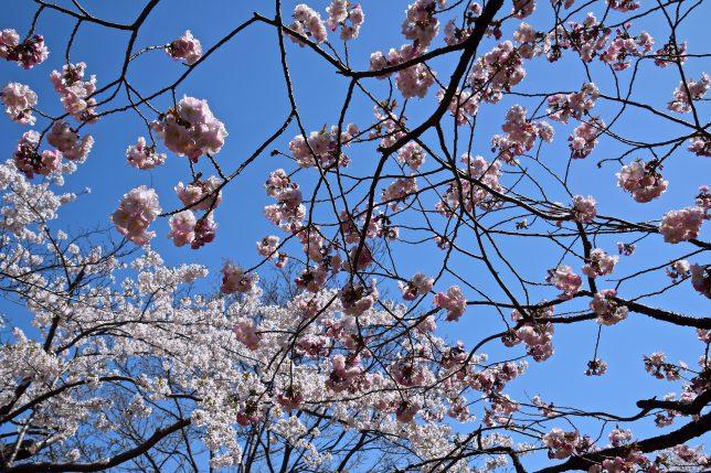 函館公園の桜も満開だった