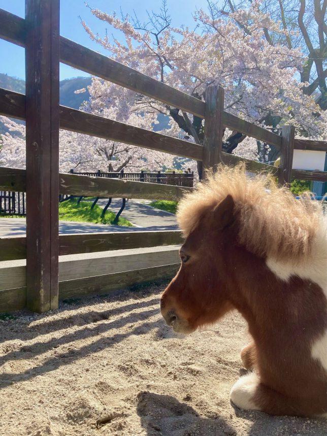 公園内の動物園のミニチュアホースもお花見でもしているのか気持ちよさそうに佇む