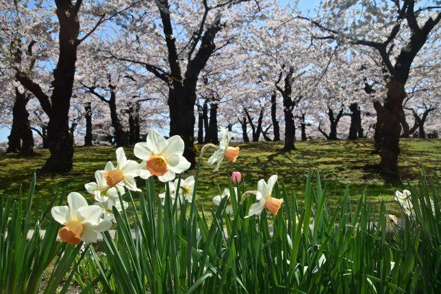 ラッパ水仙越しに満開の桜がみえる