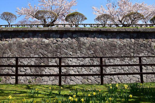 黄色い水仙と石垣と桜の共生