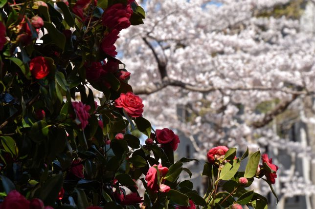 桜と対比しながら鮮やかに椿が咲いていた