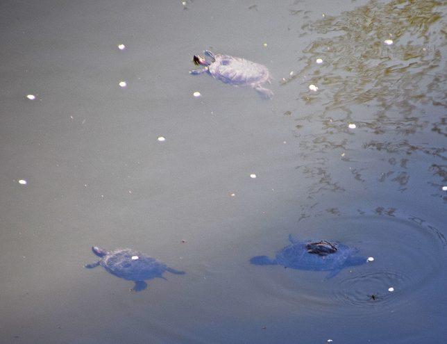 公園内の池でゆったりと亀が泳いでいた