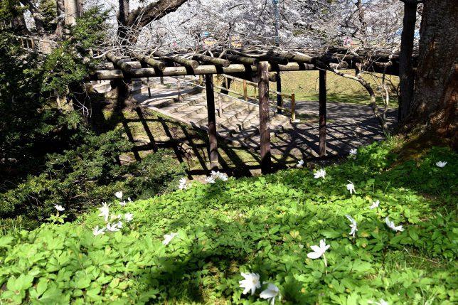 旧博物館一号の脇にひっそりとキクザキイチゲが咲いていた