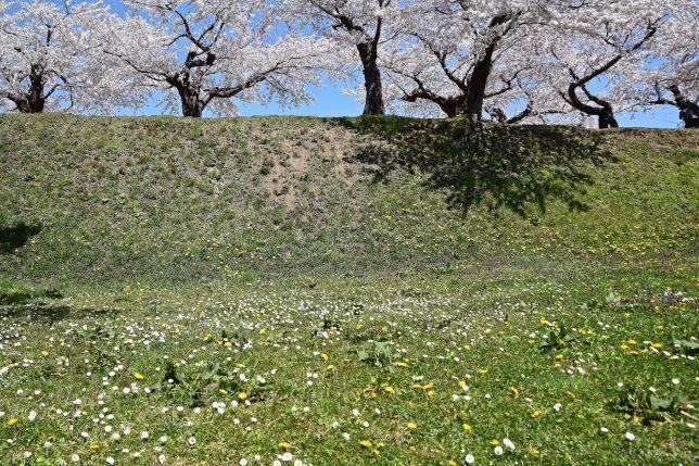 デジーとタンポポと桜の共存が春らしい