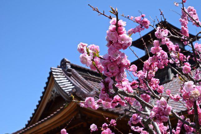 箱館奉行所の傍に紅梅が咲いていた