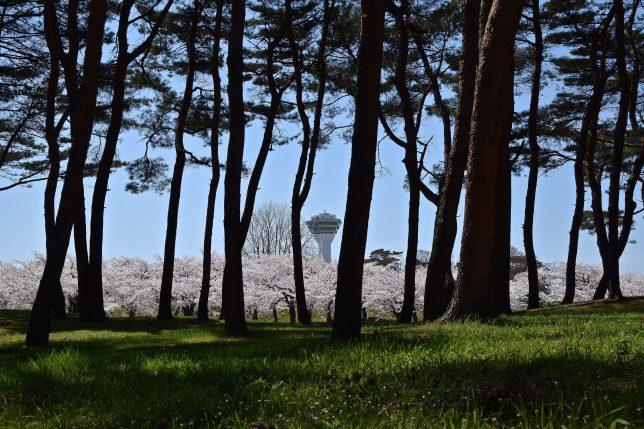 松林越しに満開の桜をみる