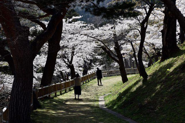 公園内の静かな遊歩道の桜が美しい