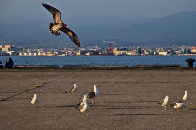 西埠頭の岸壁に海猫がたくさんいた。そこへ珍しく海猫の幼鳥が舞い降りてきた。