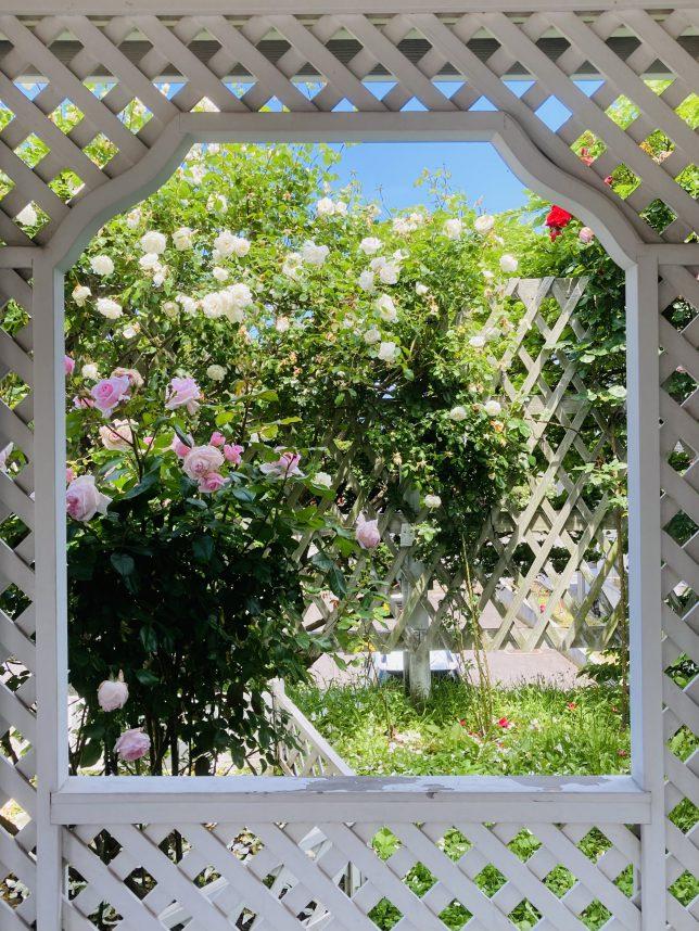 旧英領事館のガゼボ(洋風東屋)から見るバラ
