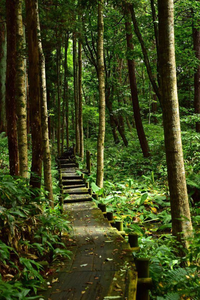 モチダモや白樺の木漏れ日の中、木道を歩く。