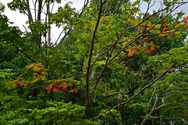 森を歩くともう紅葉している木があった。早くも秋の足音を感じる。