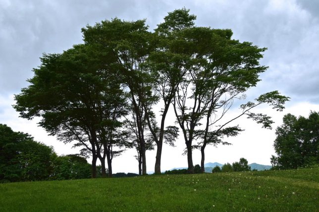 丘に立つ木はブナだろうか、立ち姿が綺麗だった。