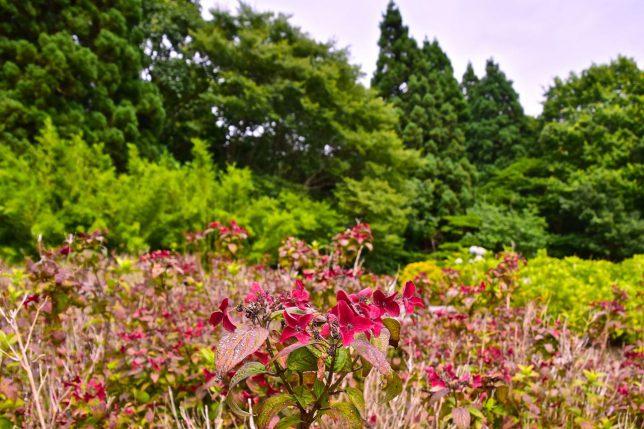 ヤマアジサイ(ニジ)。紫陽花のピークは過ぎているが、少し咲いていた。