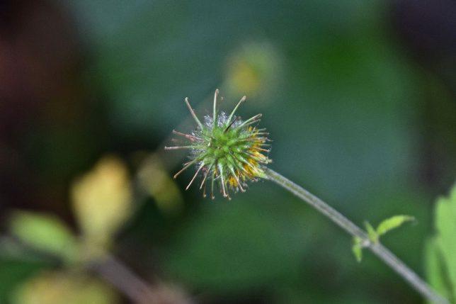 大根草の実
